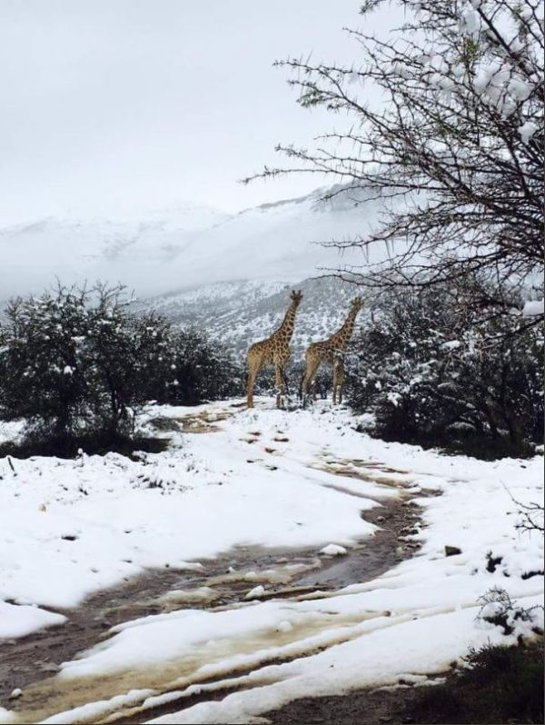 Zsiráfok a hóban – fotó  twitter  combadotibidado d5226b62b6